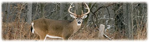 White Tail Buck